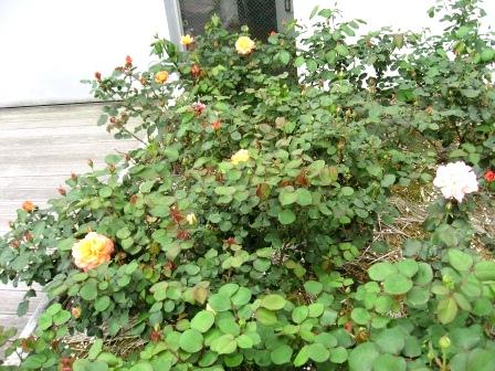 20120425flower